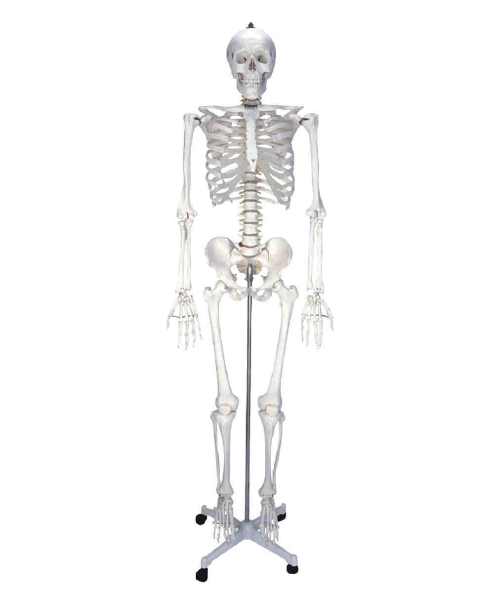 KAR/11101-1 Human Skeleton Model 180CM