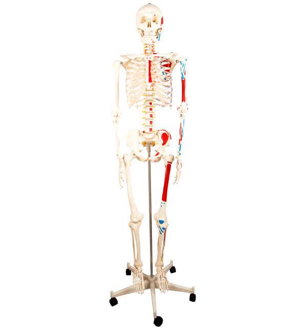 KAR/11102-2 Human Skeleton with Half Side Painted ...