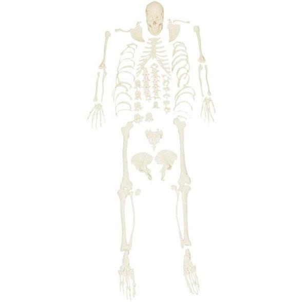 KAR/11103 Disassembled Skeleton Model