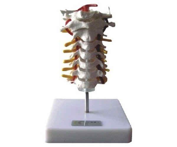 KAR/11107 Cervical Vertebral Column Model